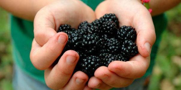 Шелковица - калорийность и свойства