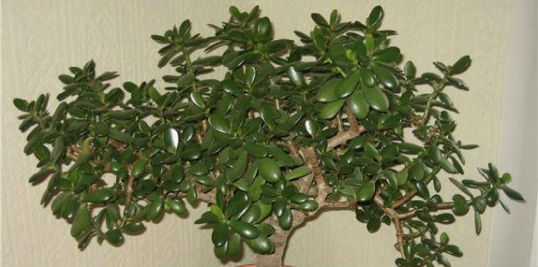 Денежное дерево. Рецепты для здоровья
