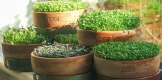 Микрозелень - полезная и легковыращиваемая пища