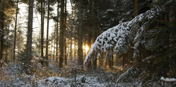 Почему сосна главное дерево зимой