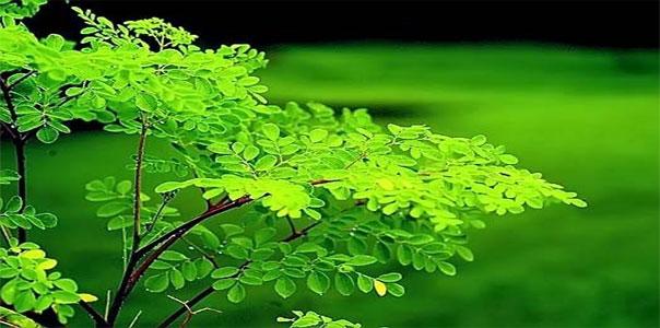 Чудо-дерево моринга